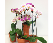 Orchid Plant in London ON, Posno Flowers