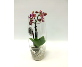 Mini Orchid in Belleville ON, Live, Love and Laugh Flowers, Antiques and Gifts