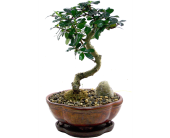 Bonsai Tree in Indianapolis IN, Madison Avenue Flower Shop