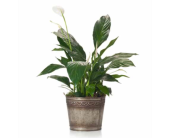 Peace Lily in Metal Pot in Tacoma WA, Lund Buds & Blooms