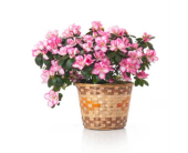Azalea in a Basket in Tacoma WA, Lund Buds & Blooms