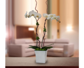 Fantastic Phalaenopsis Orchid in Dallas TX, In Bloom Flowers, Gifts and More