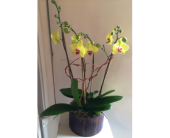 Cheerful Chartreuse Orchids in Houston TX, Village Greenery & Flowers