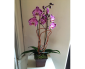 Purple Passion Orchid in Houston TX, Village Greenery & Flowers