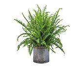 Fern in Prospect KY, Country Garden Florist