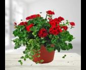 Fishers Flowers - Geranium Patio Pot - George Thomas, Inc.