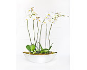Deluxe Orchid in Oblong Container in Little Rock AR, Tipton & Hurst, Inc.