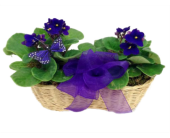 Violets and Butterflies in Stuart FL, Harbour Bay Florist