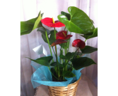 Anthurium in Grand-Sault/Grand Falls NB, Centre Floral de Grand-Sault Ltee