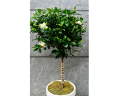 Gorgeous Gardenia Topiary in Washington DC, Greenworks By Shane