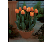 Potted Orange Tulips in Toronto ON, Simply Flowers