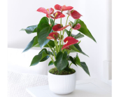 Majestic Red Anthurium in Toronto ON, Simply Flowers