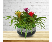 Bromeliad Trio in Dallas TX, In Bloom Flowers, Gifts and More