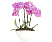 Phalaenopsis Orchid Plant in Madison, Wisconsin, Felly's Flowers
