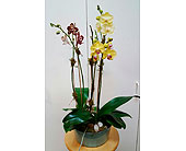Regal Orchids in Tampa, Florida, Buds Blooms & Beyond