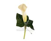 Miniature Calla Boutonniere in St. Louis MO, Walter Knoll Florist