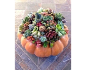 PUMPKIN SUCCULENT GARDEN in Bellevue WA, CITY FLOWERS, INC.