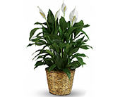 Simply Elegant Peace Lily - Large in McLean VA, MyFlorist