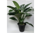 Large Peace Lily Sensation in Houston TX, Athas Florist