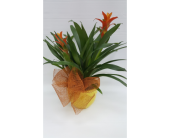 Double Bromeliad Plant in Houston TX, Athas Florist