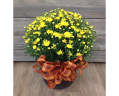 Fall Mum Plant in Smyrna GA, Floral Creations Florist