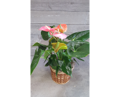 Amazing Anthurium in Frisco TX, Patti Ann's Flowers