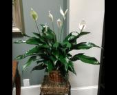 Simply Elegant Spathiphyllum Plant in Ridley Park, Pennsylvania, Ridley Park Florist