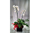 Christmas orchid planter in Largo FL, Rose Garden Flowers & Gifts, Inc
