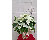 Poinsettia in Redmond WA, Bear Creek Florist