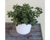 Jade Plant in Redmond WA, Bear Creek Florist