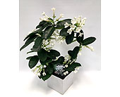 Stephanotis - 6