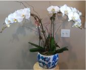My Queen Orchid  in Tampa, Florida, Buds Blooms & Beyond