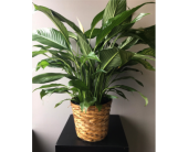 Large Peace Lily in Andover, Minnesota, Andover Floral