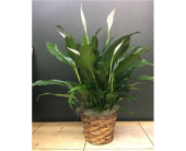 Spathiphyllum in Purcellville, Virginia, Purcellville Florist