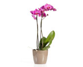 Phalaenopsis Orchid in St Catharines, Ontario, Vine Floral