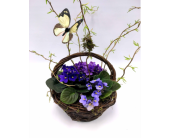 Butterfly Violets in Belleville ON, Live, Love and Laugh Flowers, Antiques and Gifts