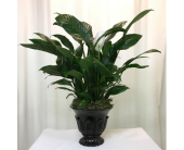 Timeless Tribute Peace Lily in Titusville FL, Floral Creations By Dawn