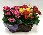 Double Kolanchoe in Belleville ON, Live, Love and Laugh Flowers, Antiques and Gifts