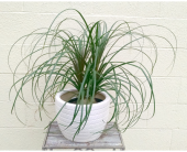 Ponytail Palm in Redmond WA, Bear Creek Florist
