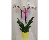Phalaenopsis Orchid in Grand Rapids MN, Shaw Florists
