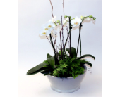 Woodland Orchid Lg. in Grimsby ON, Cole's Florist Inc.