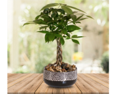 Mini Money Tree Planter in Dallas TX, In Bloom Flowers, Gifts and More