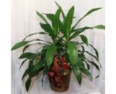 Janet Craig Dracaena in Grand Rapids MN, Shaw Florists