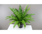 Bird's nest fern in Temple, Texas, Precious Memories
