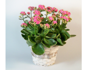 Kalanchoe in Temple TX, Precious Memories