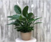 Large Peace Lily in Sacramento, California, G. Rossi & Co.