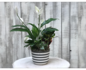 Striped Plant