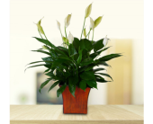 Peace Lily in Dallas TX, In Bloom Flowers, Gifts and More