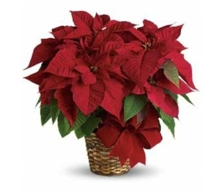 Poinsettia Plant in Ogden UT, Jimmy's Flowers