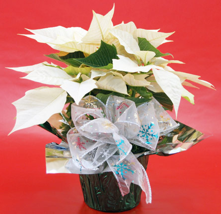4'' White Poinsettia Plant Local and Nationwide Guaranteed Delivery - GoFlorist.com